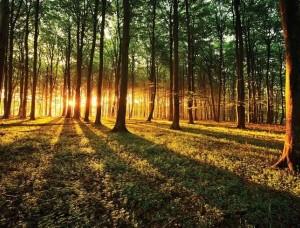 Fototapet raze de soare ce străbat prin pădure - 2226