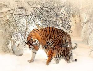 Fototapet cu animale, tigri siberieni iarna - 13004